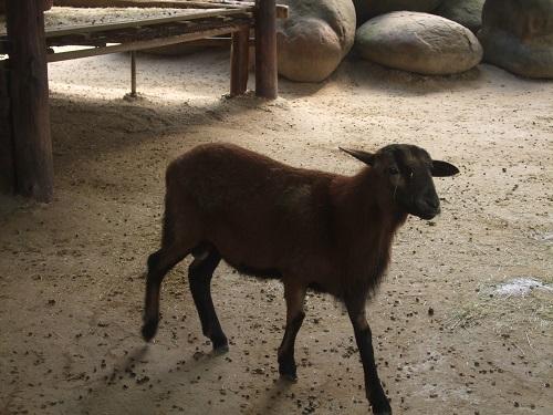 獨角仙休閒農場:山羊